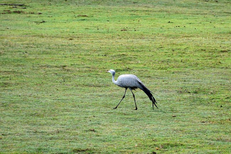 Blue Crane, Botlierskop Reserve, South Africa. Blue Crane in Botlierskop Private Game Reserve, Mossel Bay, South Africa. The Grus paradisea, also known as the stock photography