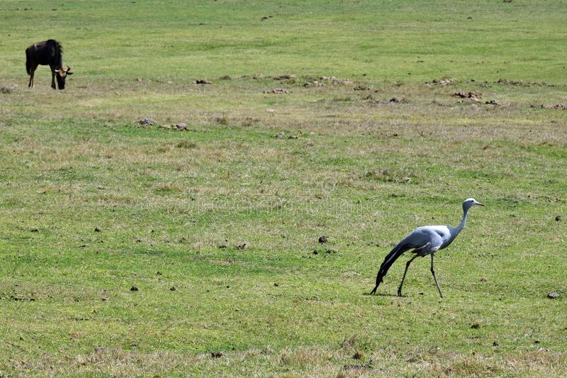 Blue Crane, Botlierskop Reserve, South Africa. Blue Crane and wildebeest in Botlierskop Private Game Reserve, Mossel Bay, South Africa. The Grus paradisea, also stock photo