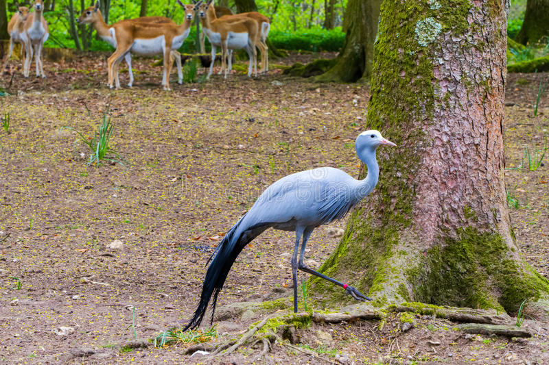 The blue crane and deers. The blue crane Grus paradisea, also known as the Stanley crane and the paradise crane with deer in the background, in the forrest stock photography