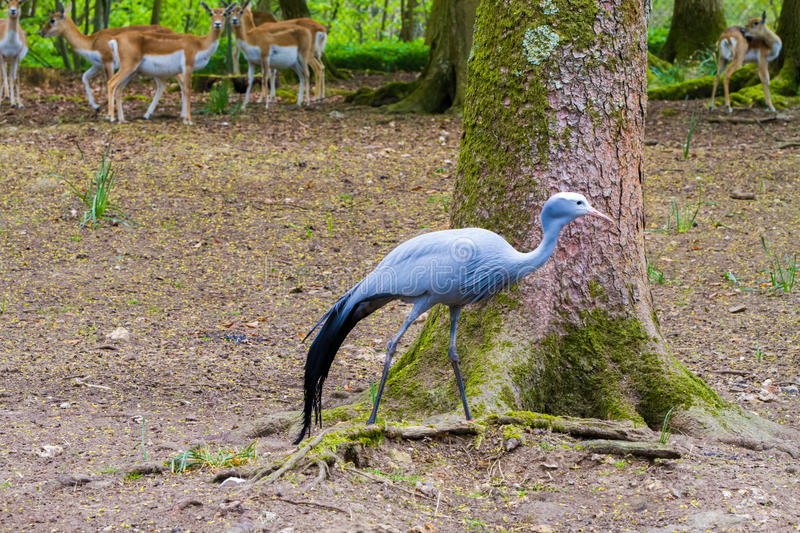 The blue crane and deers. The blue crane Grus paradisea, also known as the Stanley crane and the paradise crane with deer in the background, in the forrest royalty free stock photography