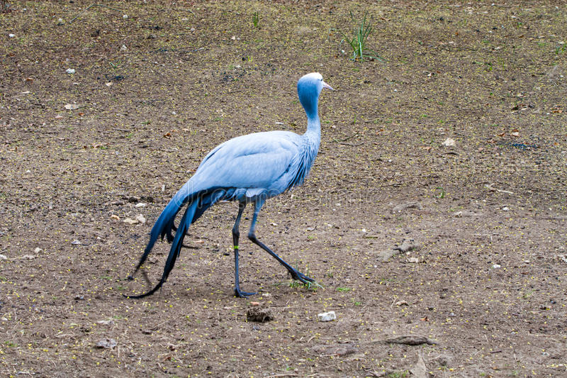 The blue crane. Grus paradisea, also known as the Stanley crane and the paradise crane stock images