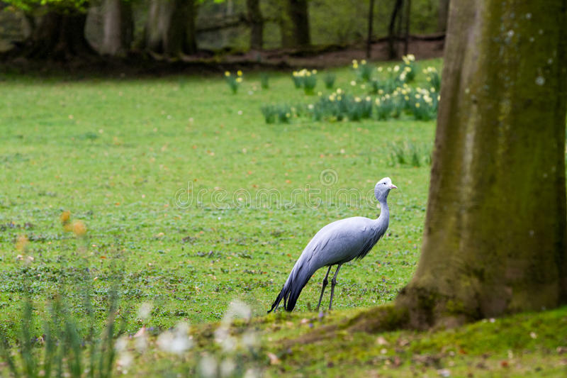 The blue crane. Grus paradisea, also known as the Stanley crane and the paradise crane royalty free stock images