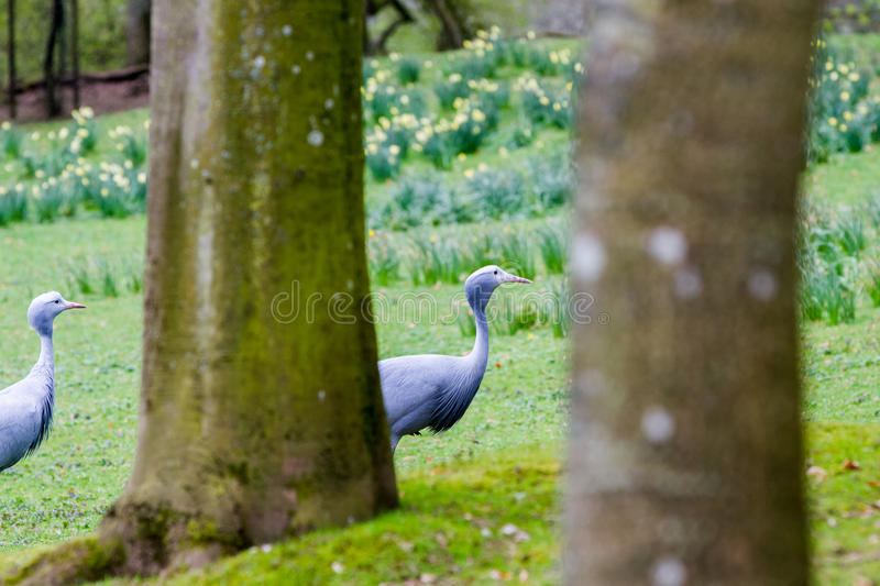 The blue crane. Grus paradisea, also known as the Stanley crane and the paradise crane stock photo
