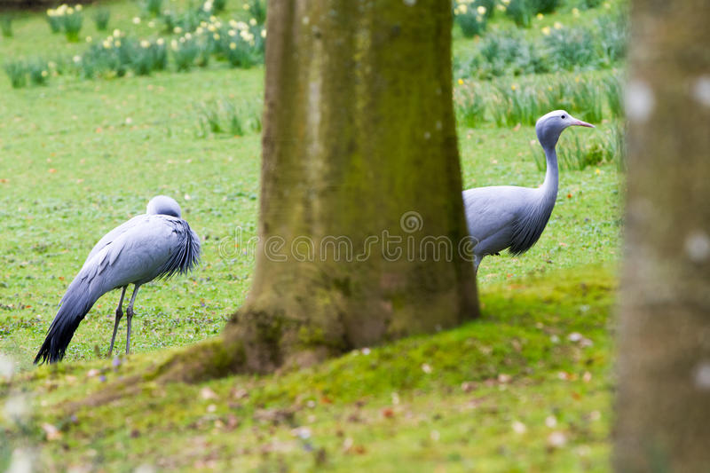 The blue crane. Grus paradisea, also known as the Stanley crane and the paradise crane stock image