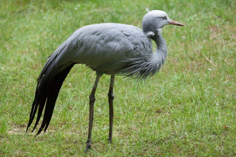 Blue crane Grus paradisea. Also known as the Stanley crane or paradise crane. Wildlife animal stock photo