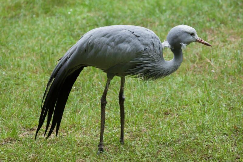 Blue crane (Grus paradisea). Blue crane (Grus paradisea), also known as the Stanley crane or paradise crane. Wildlife animal royalty free stock photo