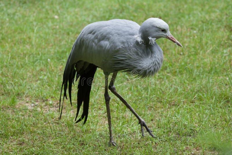 Blue crane (Grus paradisea). Blue crane (Grus paradisea), also known as the Stanley crane or paradise crane. Wildlife animal stock photo