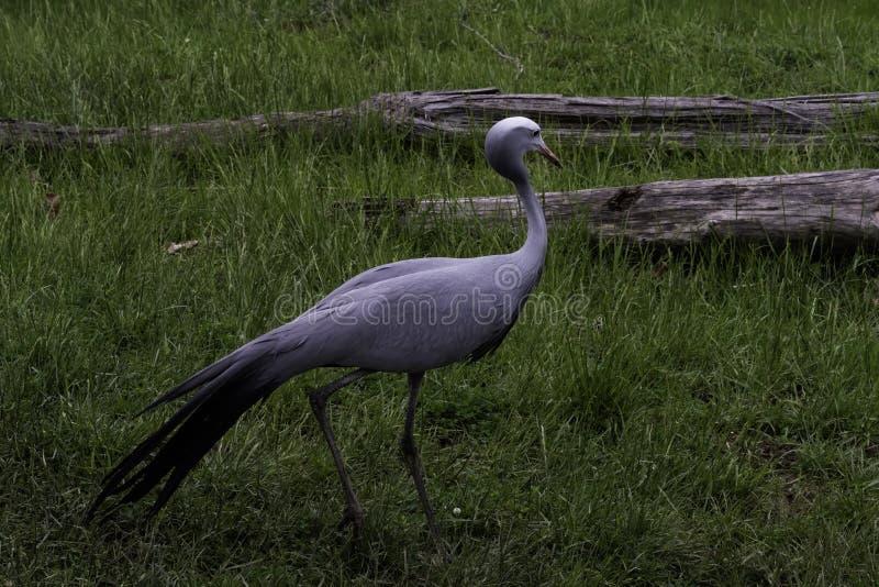 Beautiful elegant blue crane Grus paradisea. Beautiful blue crane elegantly strolling through the grass on a summer evening royalty free stock images