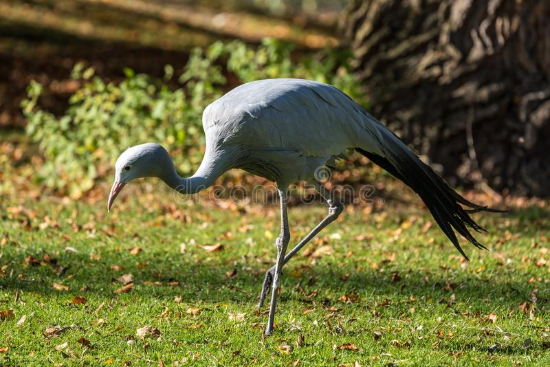 The Blue Crane, Grus paradisea, is an endangered bird. Specie endemic to Southern Africa. It is the national bird of South Africa stock photos