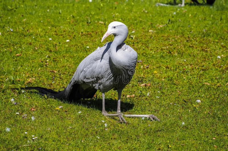 The Blue Crane, Grus paradisea, is an endangered bird royalty free stock images