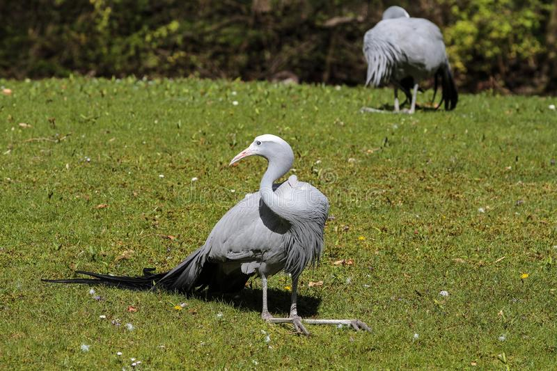 The Blue Crane, Grus paradisea, is an endangered bird. Specie endemic to Southern Africa. It is the national bird of South Africa stock image