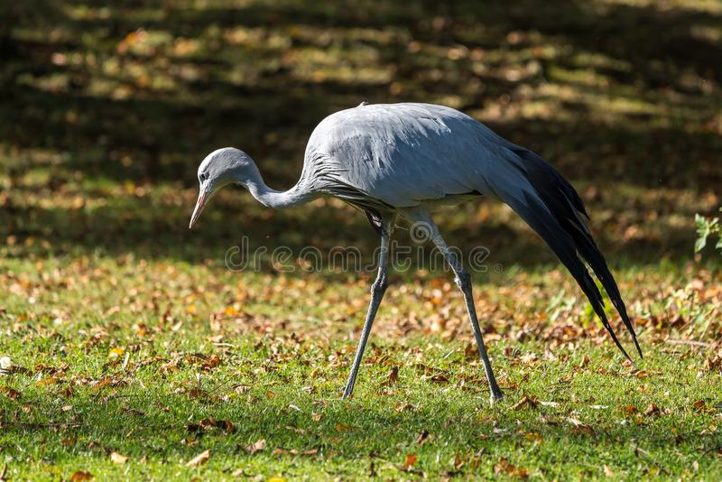 The Blue Crane, Grus paradisea, is an endangered bird. Specie endemic to Southern Africa. It is the national bird of South Africa royalty free stock images