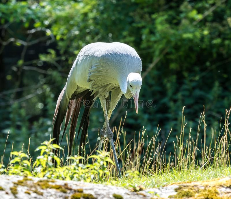 The Blue Crane, Grus paradisea, is an endangered bird. Specie endemic to Southern Africa. It is the national bird of South Africa stock photo