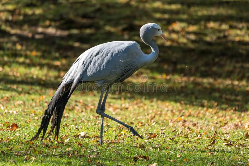 The Blue Crane, Grus paradisea, is an endangered bird. Specie endemic to Southern Africa. It is the national bird of South Africa stock photography