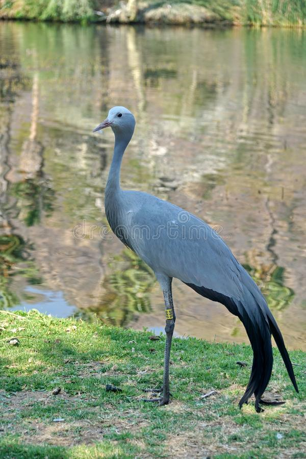 Blue crane by a pond. Blue crane - Grus paradisea - by a pond in Sun City, South Africa royalty free stock photos