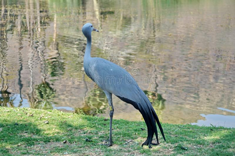 Blue crane by a pond. Blue crane - Grus paradisea - by a pond in Sun City, South Africa royalty free stock photography