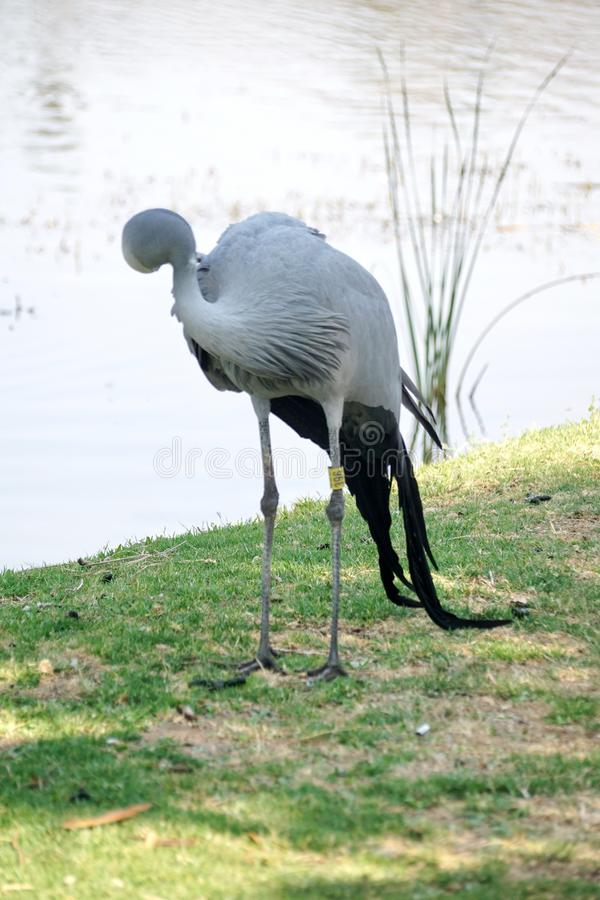 Blue crane by a pond. Blue crane - Grus paradisea - by a pond in Sun City, South Africa stock photos