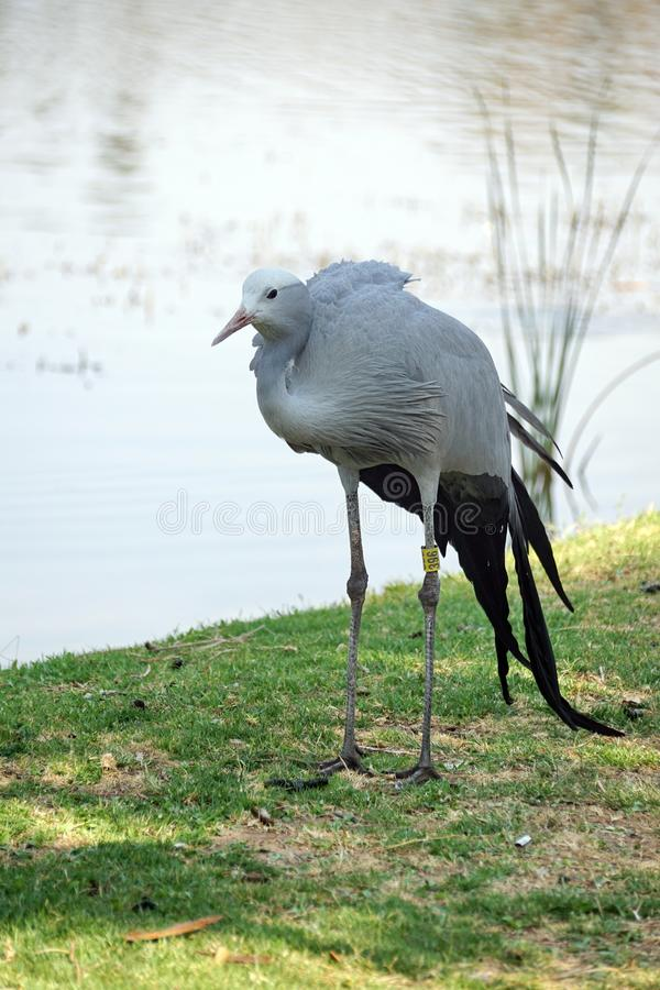 Blue crane by a pond. Blue crane - Grus paradisea - by a pond in Sun City, South Africa stock image
