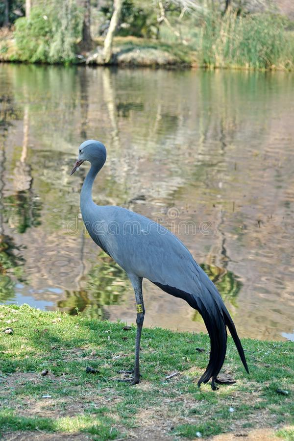 Blue crane by a pond. Blue crane - Grus paradisea - by a pond in Sun City, South Africa stock photography