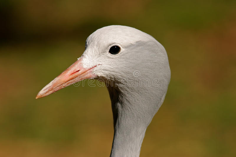 Download Blue crane portrait stock image. Image of wildlife, feathers - 26193603