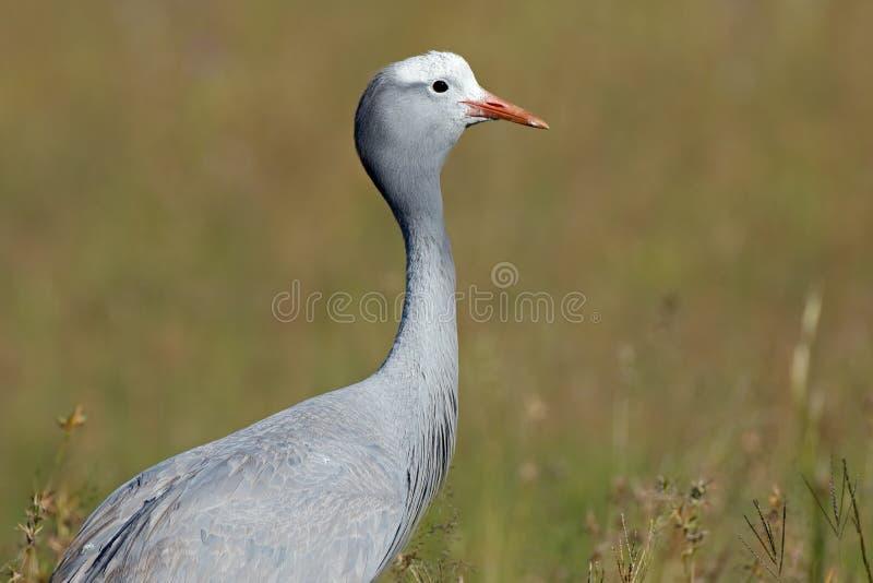 Blue crane portrait. Portrait of an endangered blue crane Anthropoides paradisea, National bird of South Africa stock photo