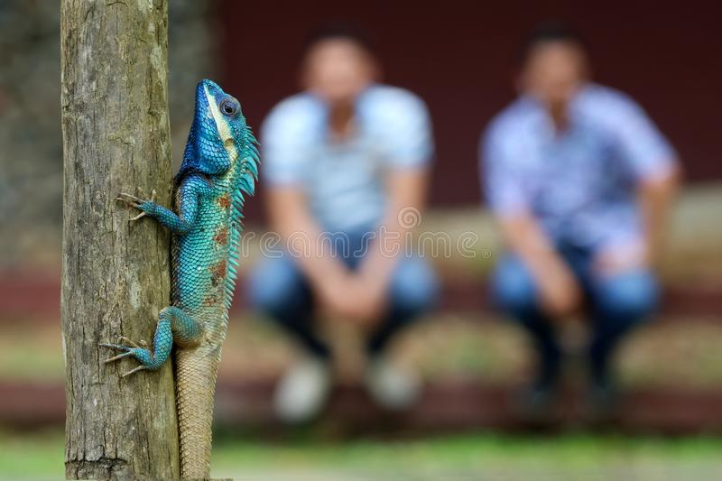 Blue-crested or Indo-Chinese Forest Lizard on a tree with people royalty free stock photo