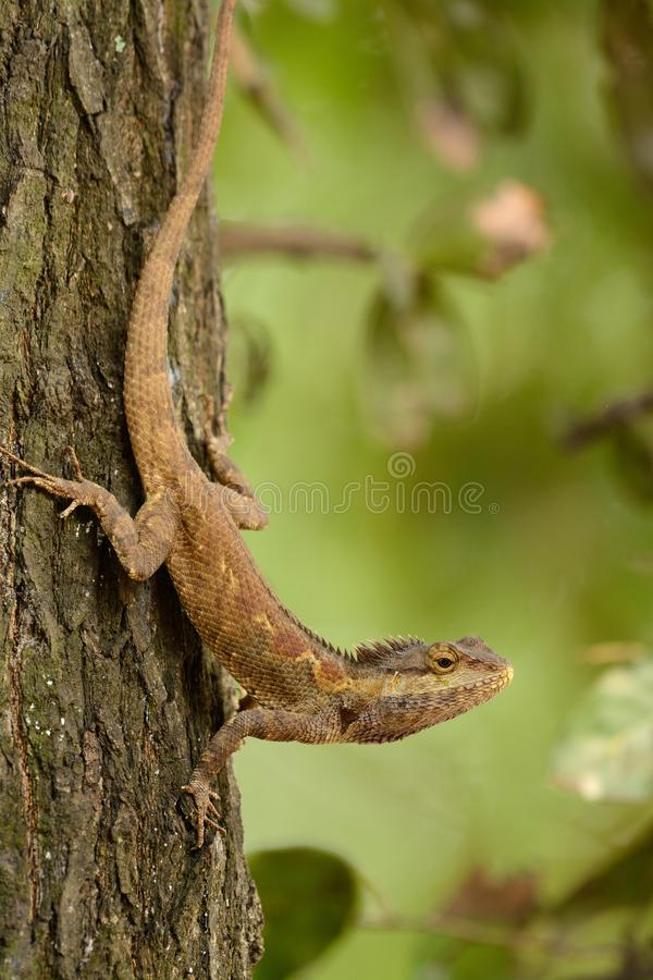 Blue Crested Lizard Calotes mystaceus stock photography