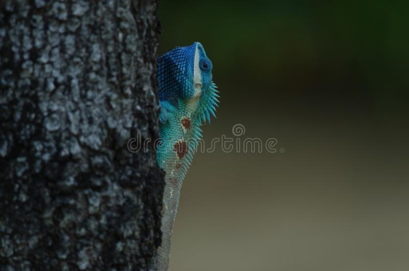 Blue-crested Lizard or Indo-Chinese Forest Lizard royalty free stock photography