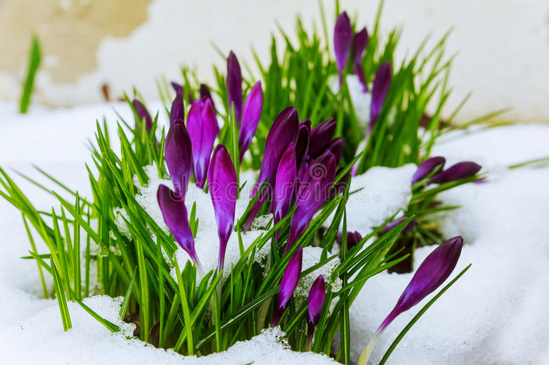 Blue crocus flowering from snow royalty free stock photography