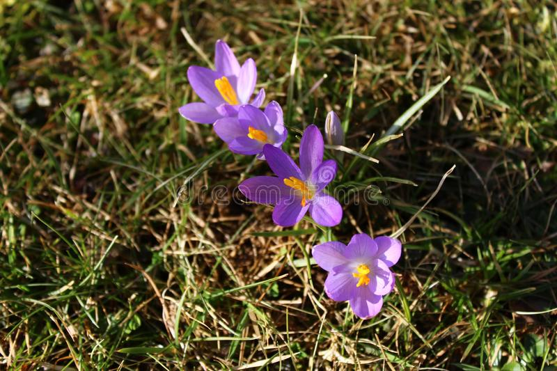 Blue crocus in the meadow royalty free stock photos