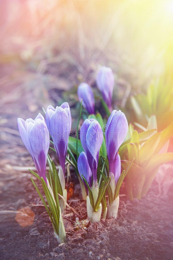 Blue crocuses. Early bloom pleases the human eye. Blue snowdrops in a spring forest. The first spring flowers stock images