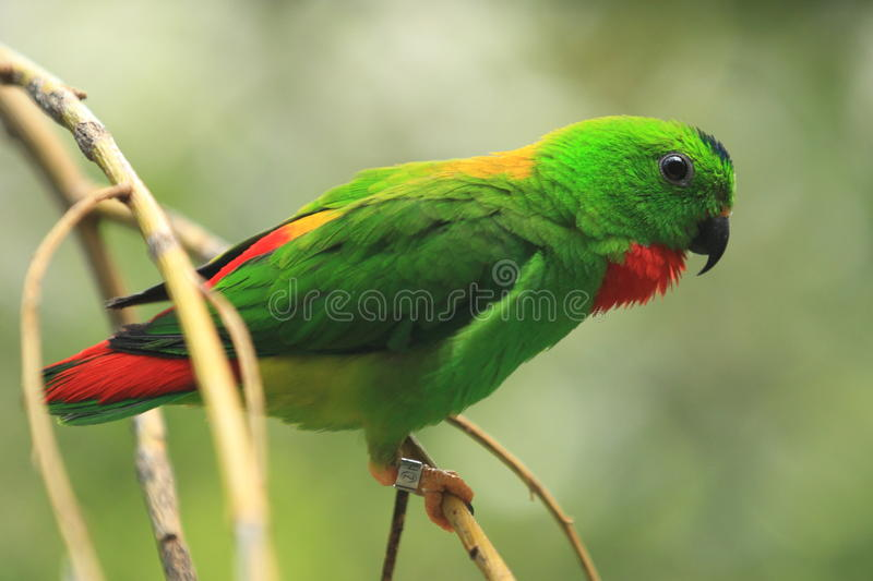 Blue-crowned hanging parrot. The blue-crowned hanging parrot sitting on the branch stock photography