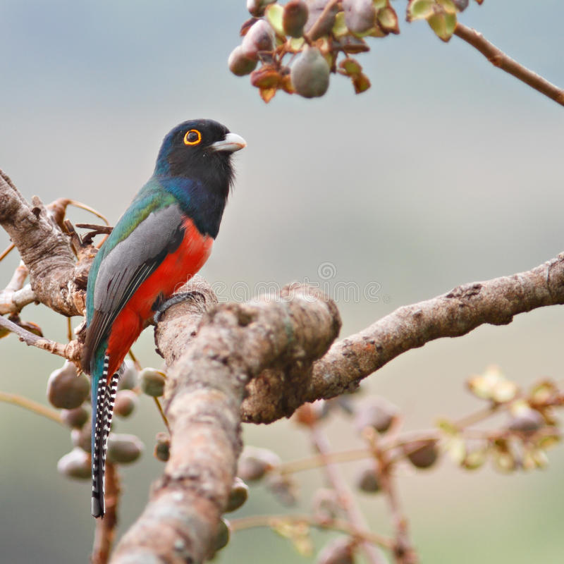 Blue-Crowned Male Trogon Royalty Free Stock Images