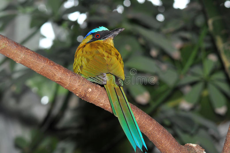 Blue crowned motmot royalty free stock photography
