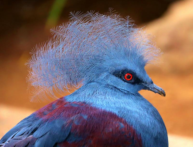 Blue Crowned Pigeon Detail. Detail of a red-eyed, Blue Crowned Pigeon royalty free stock photos