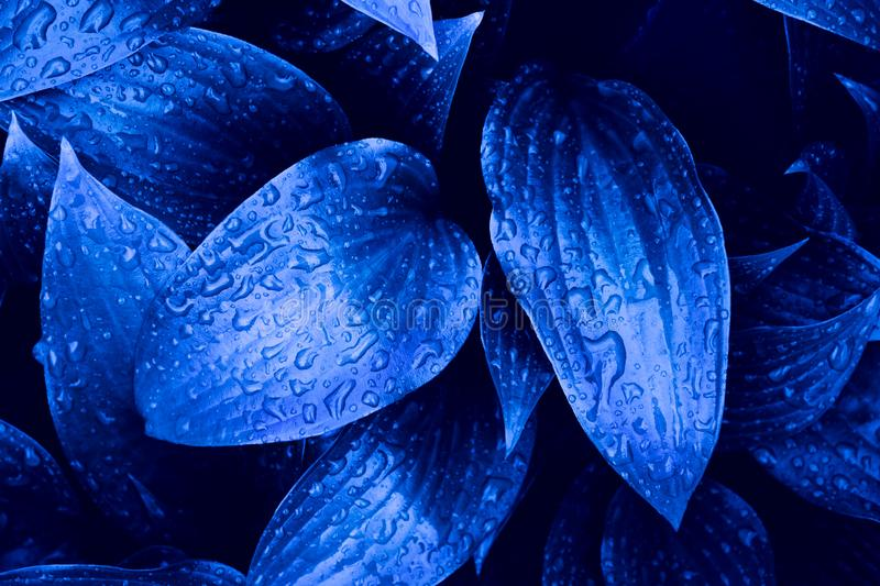 Blue cyan colored beautiful fresh leaves with rain drops background. Blue cyan colored beautiful wet fresh leaves with rain drops natural background royalty free stock image