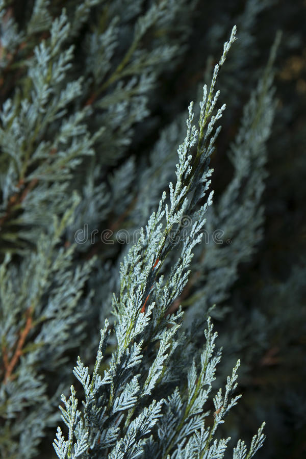 Blue Cypress 1. Blue Cypress of the Cypress Family Cupressaceae 1 stock images