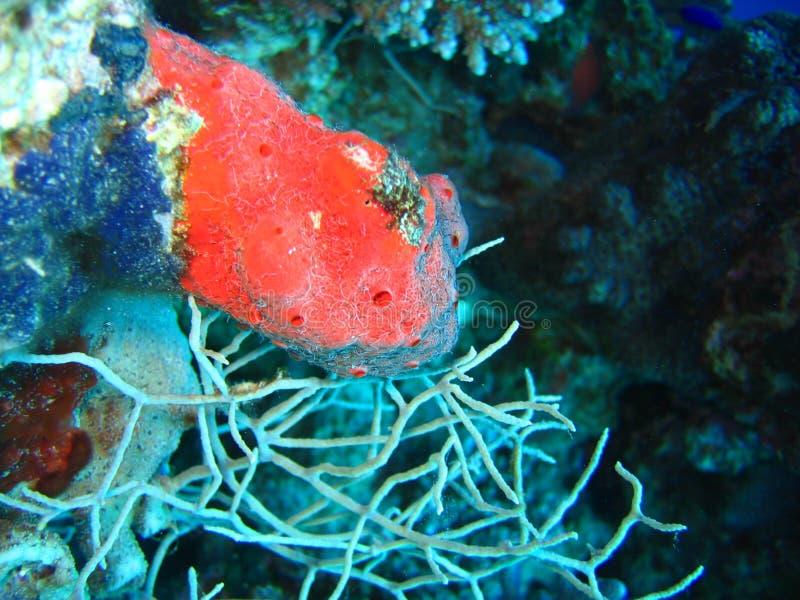 blue czerwonym gąbka zdjęcia royalty free