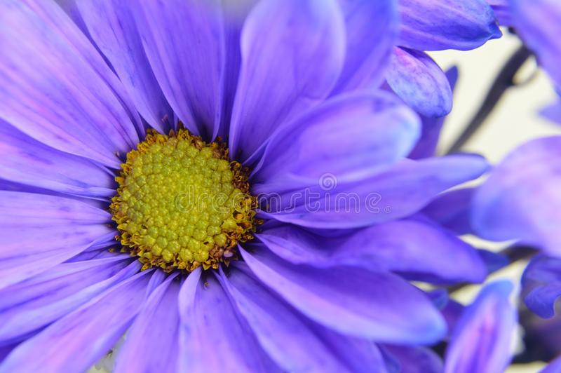 Blue daisy with yellow center flower closeup stock image image of download blue daisy with yellow center flower closeup stock image image of flowers blossoms mightylinksfo
