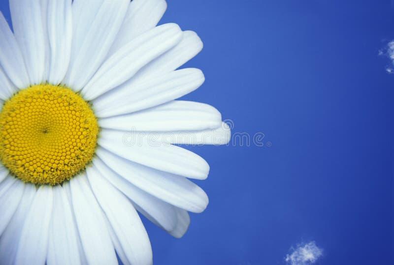 blue daisy niebo zdjęcia royalty free