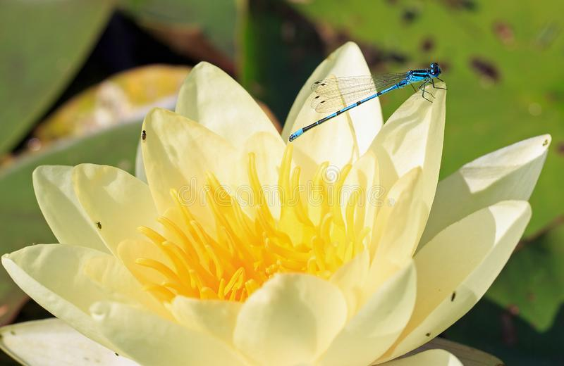 Blue Damsel Fly perched on the petal of a bright yellow water lily in full bloom. Common Blue Male Damsel Fly Enallagma cyathigerum resting on the edge of a stock image