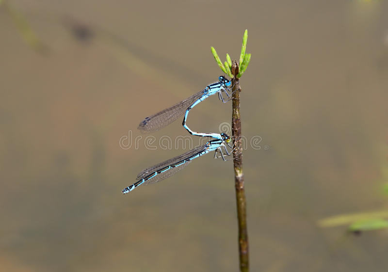 Download Blue damselfly stock image. Image of detail, dragonfly - 20857947
