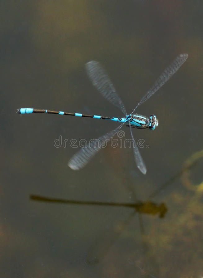 Blue Damselfly - Enallagma cyathigerm. A blue Damselfly flying low over the surface of a marsh stock images