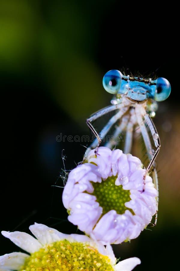 Blue Damselfly ( Enallagma cyathigerum ) royalty free stock image