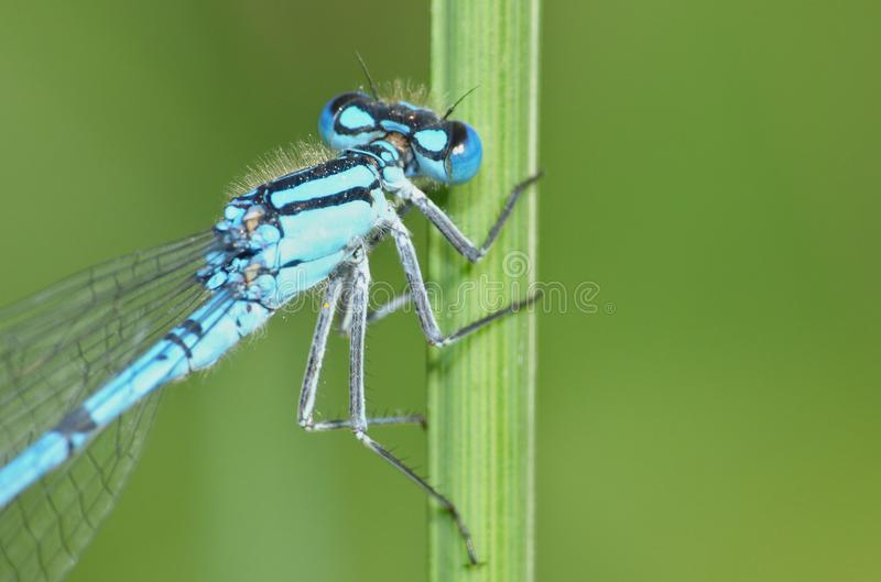 Blue Damselfly on Green Reed. Macro shot of a Damselfly holding onto a green reed at the side of a lake in the UK stock photos