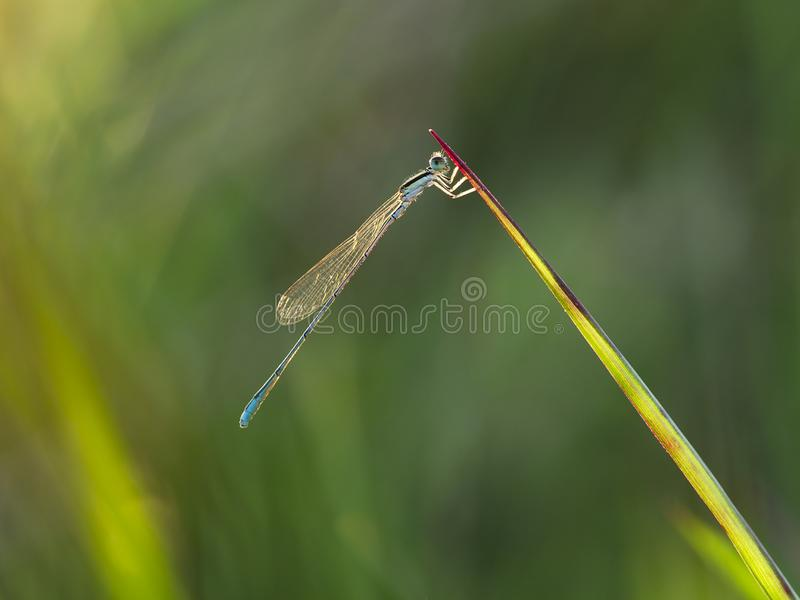 Blue damselfly perched on the grass at the afternoon royalty free stock images