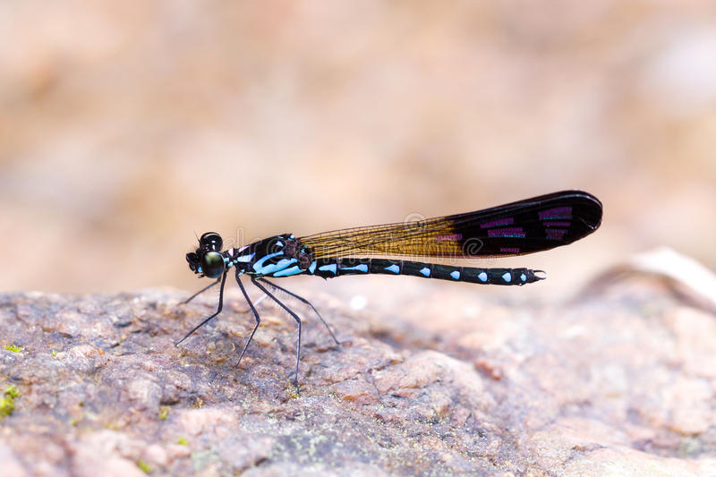 Blue damselfly on rock. Marco picture, blue damselfly on rock royalty free stock photos