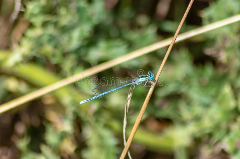 Blue damselfly on a stalk of grass. White legged damselfly perched on a golden yellow dry grass stem on the Avon Valley Walk in Chippenham Wiltshire royalty free stock photos