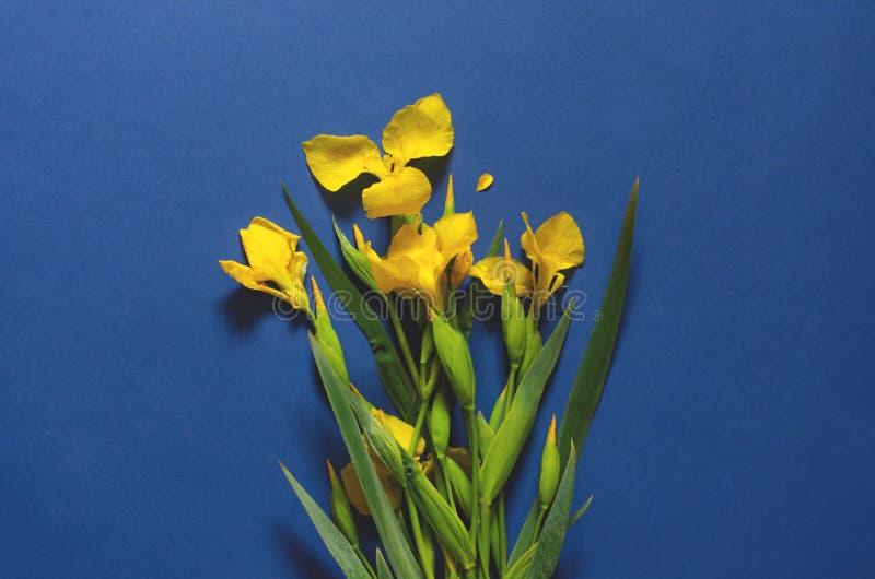 Blue dark background with yellow irises. Blue dark background with yellow flowers of irises. Minimalism stock photo