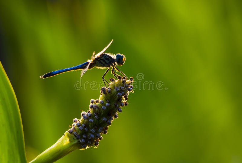 Download Blue Dasher Dragonfly stock image. Image of outdoors - 42769075